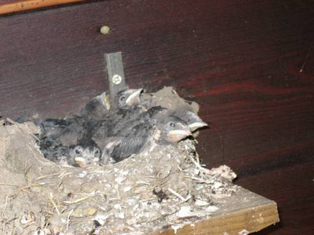 Baby swallows a few weeks ago